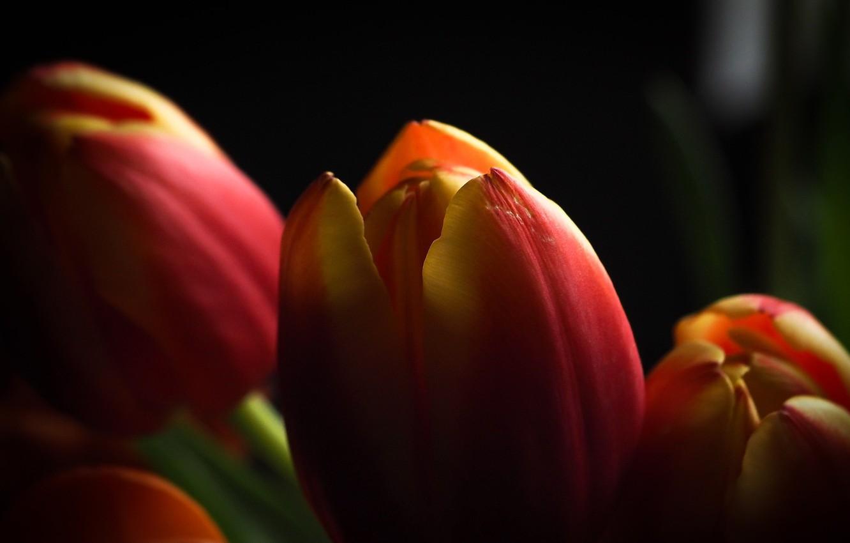 Photo wallpaper macro, flowers, tulips