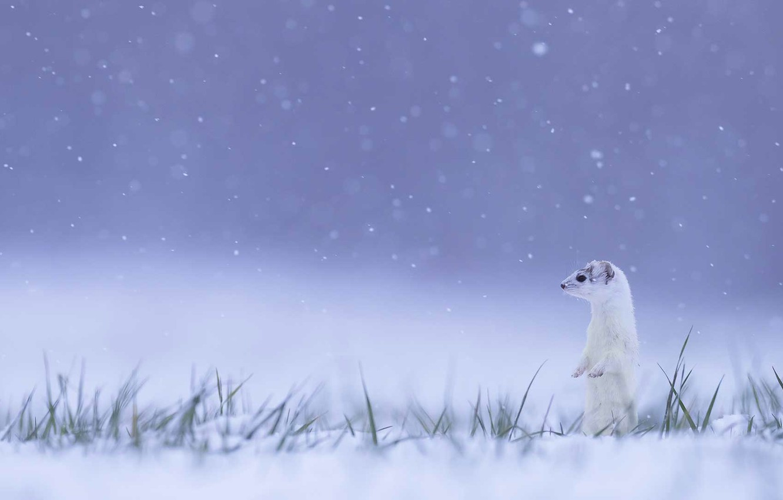 Wallpaper winter, France, ermine, Jura images for desktop