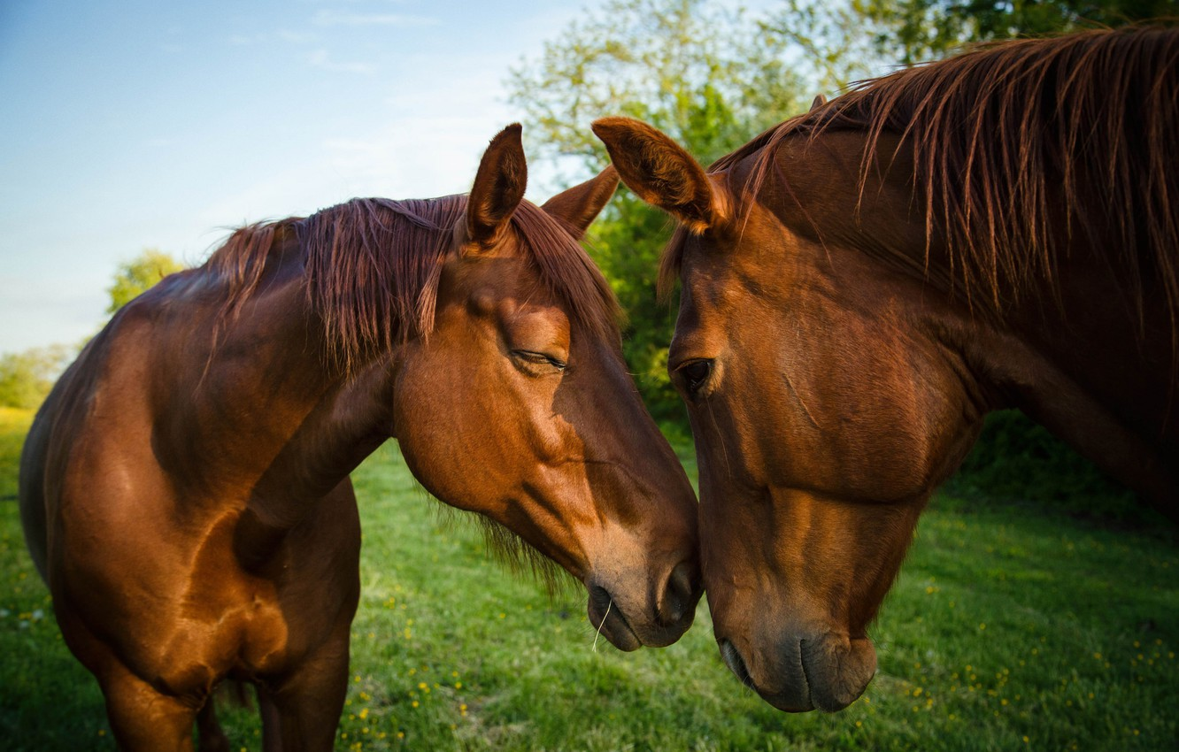 Photo wallpaper greens, the sky, grass, nature, background, horses, horse, friendship, pair, brown, two, muzzle, communication, he …