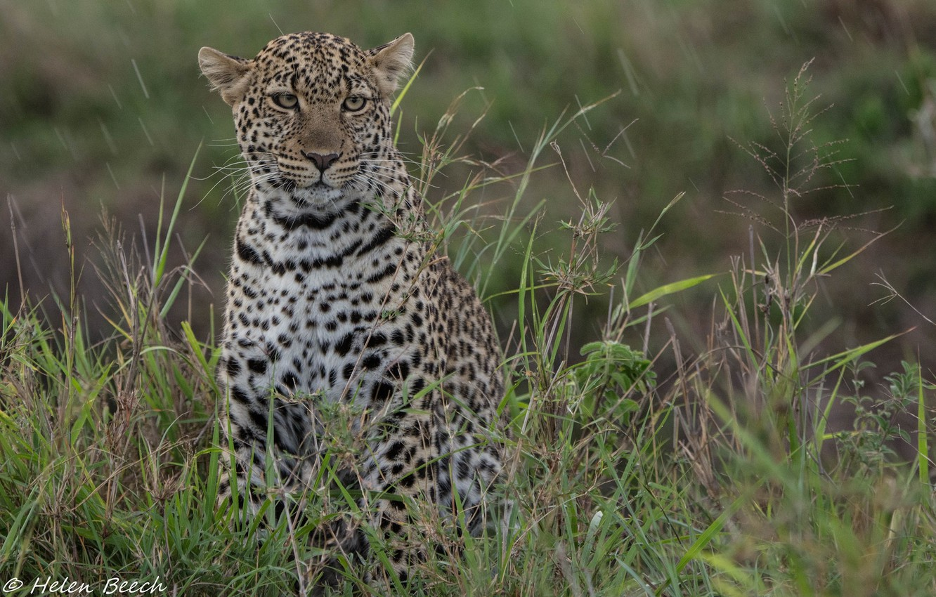 Photo wallpaper face, thickets, predator, leopard, wild cat, young