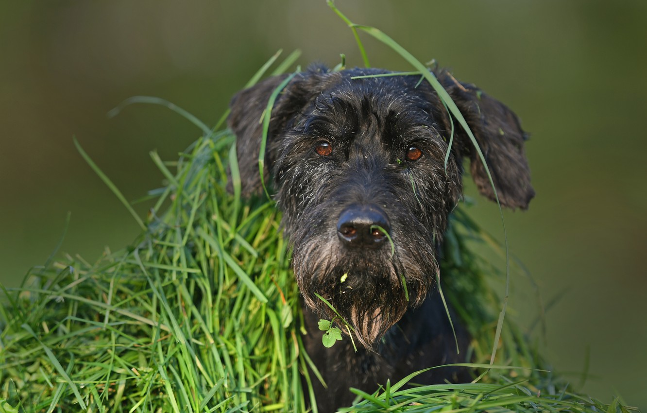 Photo wallpaper grass, look, face, dog, shelter, disguise, dog