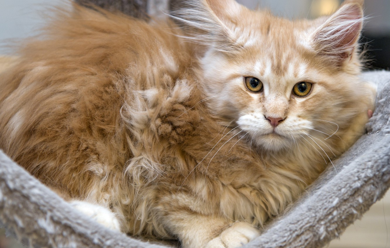 Photo wallpaper cat, kitty, red, Maine Coon