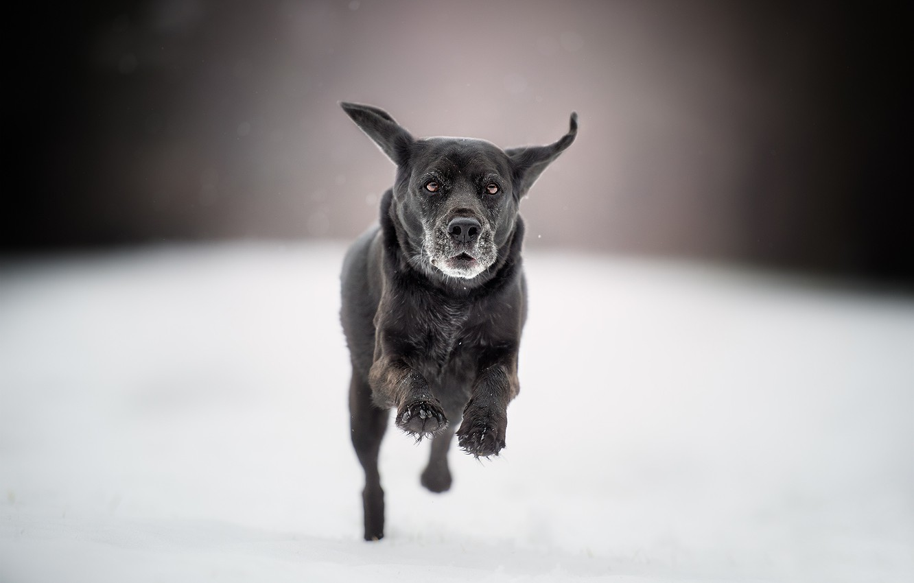 Photo wallpaper snow, dog, running, walk, bokeh