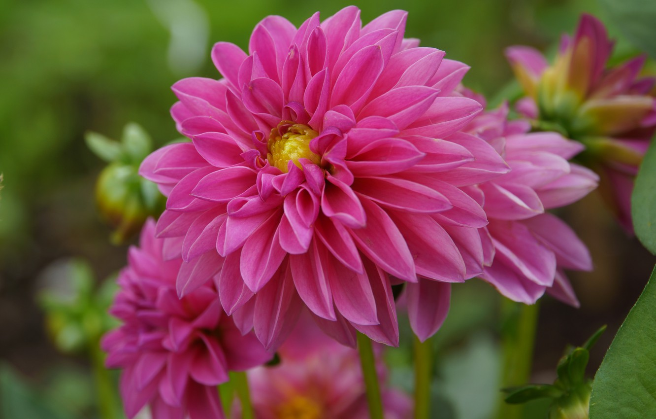 Photo wallpaper Georgina, dahlias, Bokeh, Pink flower, Pink flower