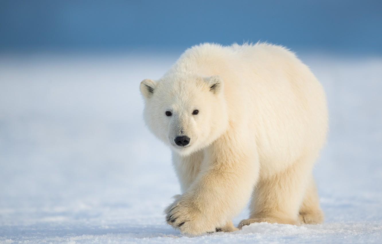 Photo wallpaper winter, snow, nature, polar bear