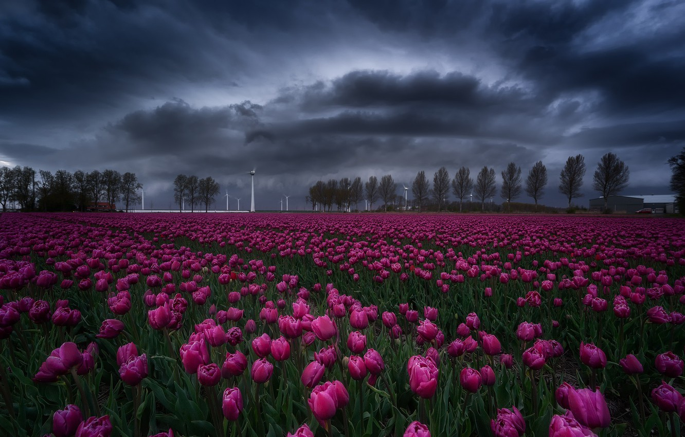 Photo wallpaper field, the sky, flowers, clouds, spring, tulips
