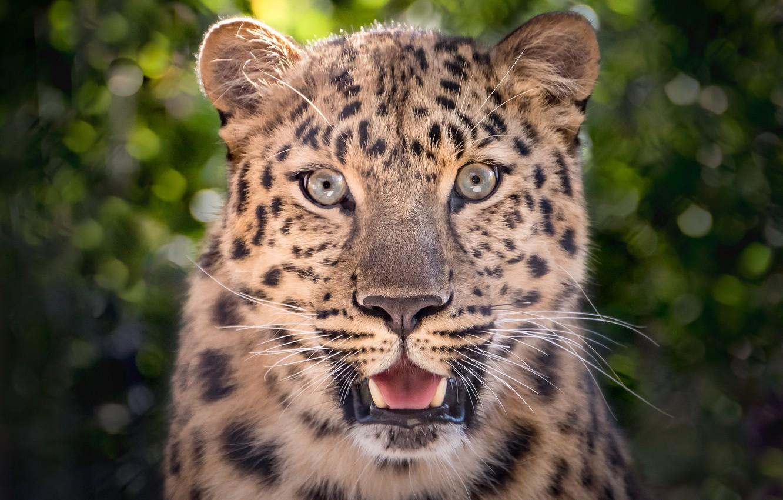 Photo wallpaper face, portrait, predator, leopard, handsome