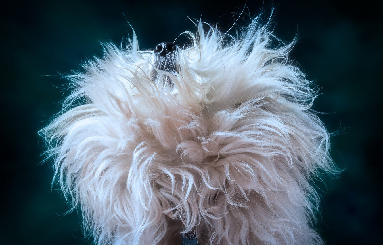 Photo wallpaper background, dog, wool