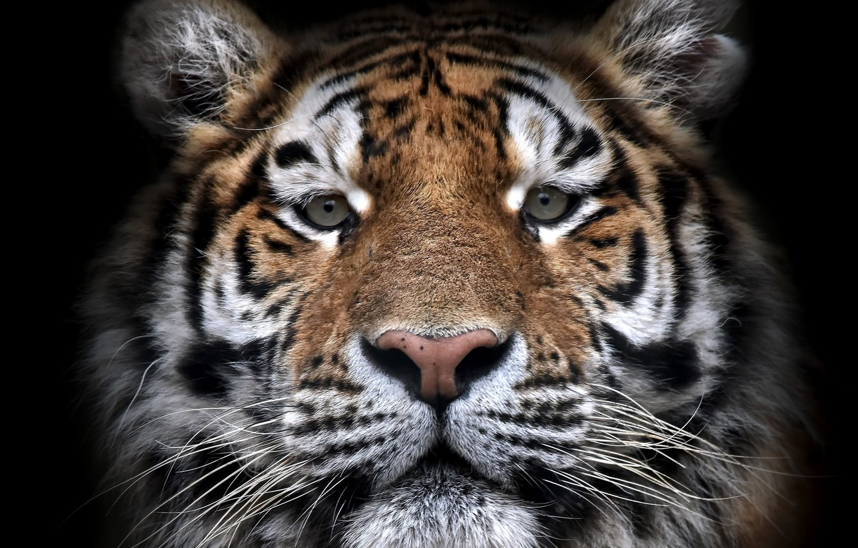 Photo wallpaper face, tiger, beast
