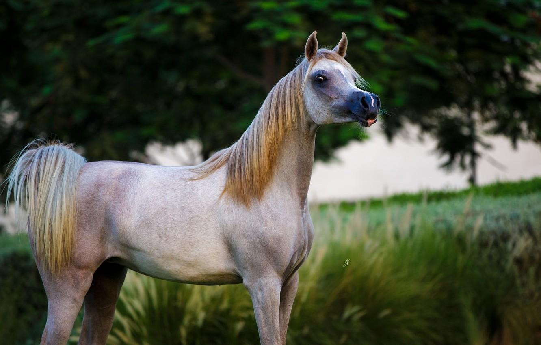 Photo wallpaper horse, horse, grace, posing, Arab