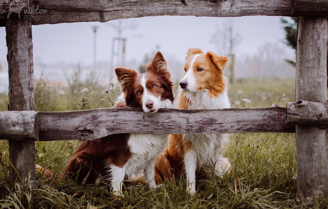 Photo wallpaper dogs, the fence, friends