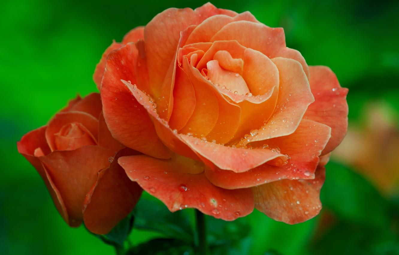 Photo wallpaper drops, macro, rose, petals, Bud