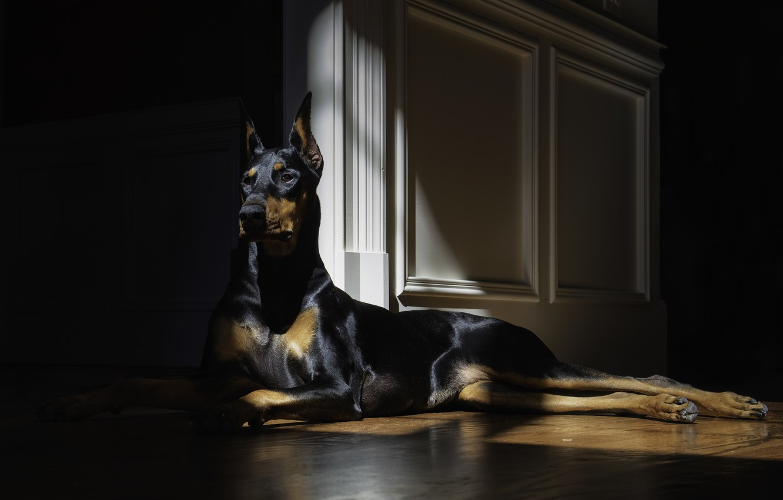 Wallpaper look, dog, lies, doberman