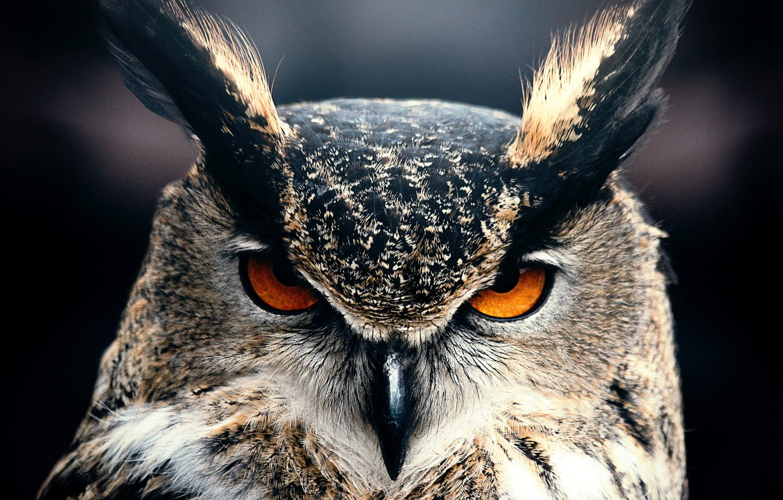 Photo wallpaper Owl, Animal