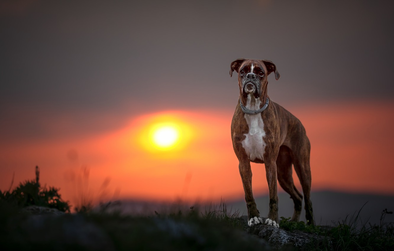 Photo wallpaper sunset, dog, Boxer