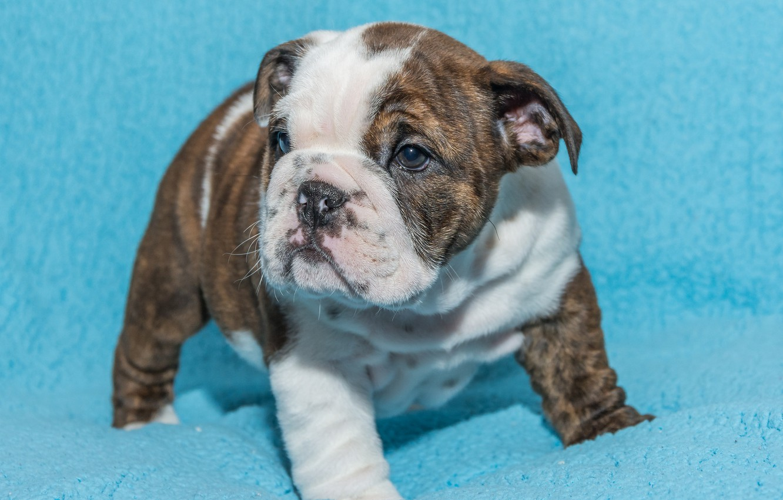 Photo wallpaper background, dog, baby, puppy, English bulldog