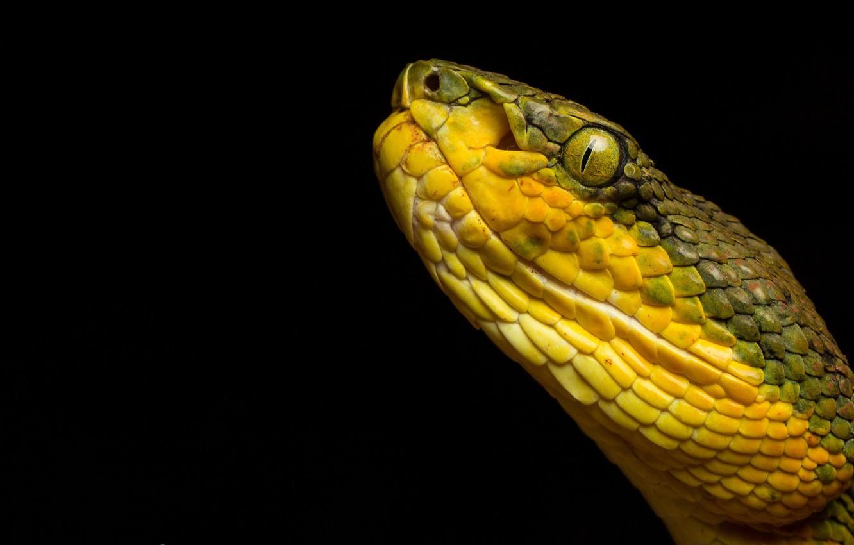 Wallpaper Snake Trimeresurus Gramineus Bamboo Pit Viper