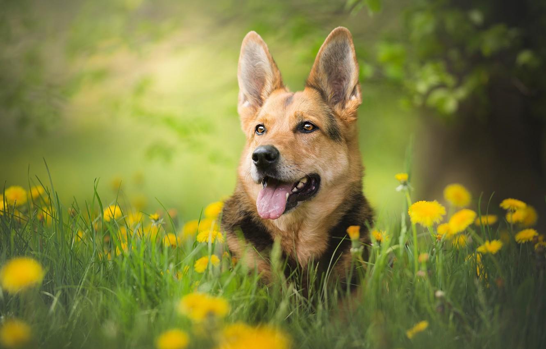 Photo wallpaper greens, dog, bokeh, shepherd