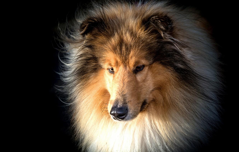 Photo wallpaper face, portrait, dog, wool, black background, Collie
