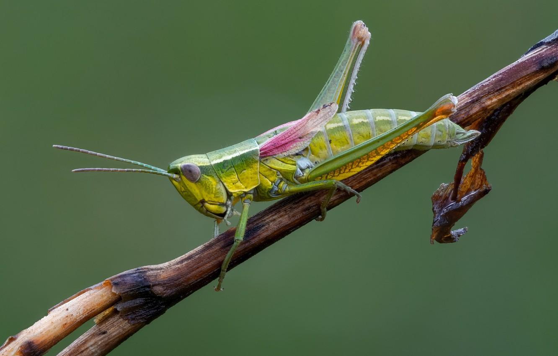 Photo wallpaper branch, grasshopper, Zelenchuk brachypterous