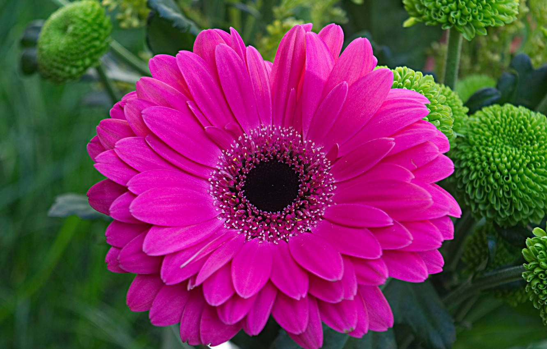 Photo wallpaper flower, nature, petals, gerbera