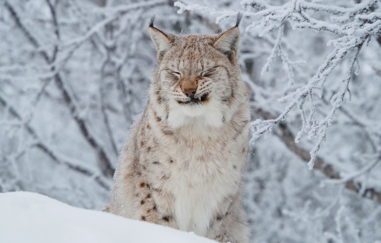 Photo wallpaper winter, frost, cat, face, snow, branches, portrait, lynx, wildlife