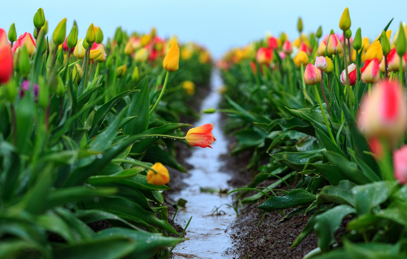 Photo wallpaper field, the sky, leaves, water, drops, flowers, freshness, rain, spring, yellow, after the rain, tulips, ...