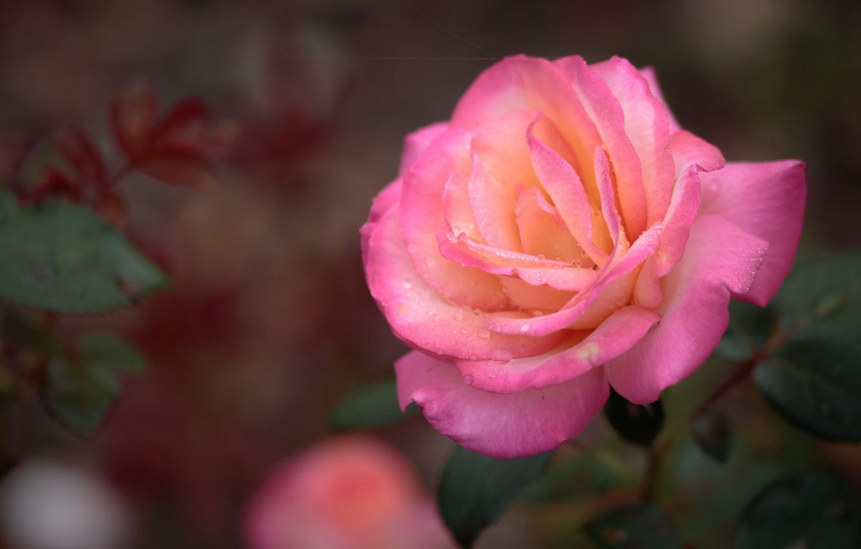 Photo wallpaper drops, macro, pink, rose, petals, Bud