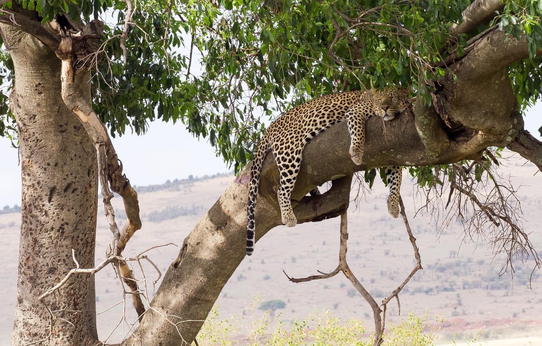 Photo wallpaper stay, sleep, predator, leopard, lies, wild cat, on the tree