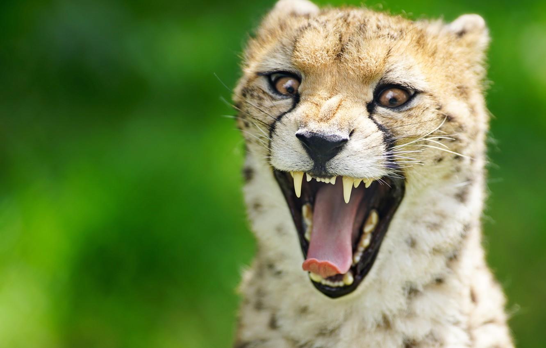 Photo wallpaper language, face, background, teeth, mouth, Cheetah, wild cat