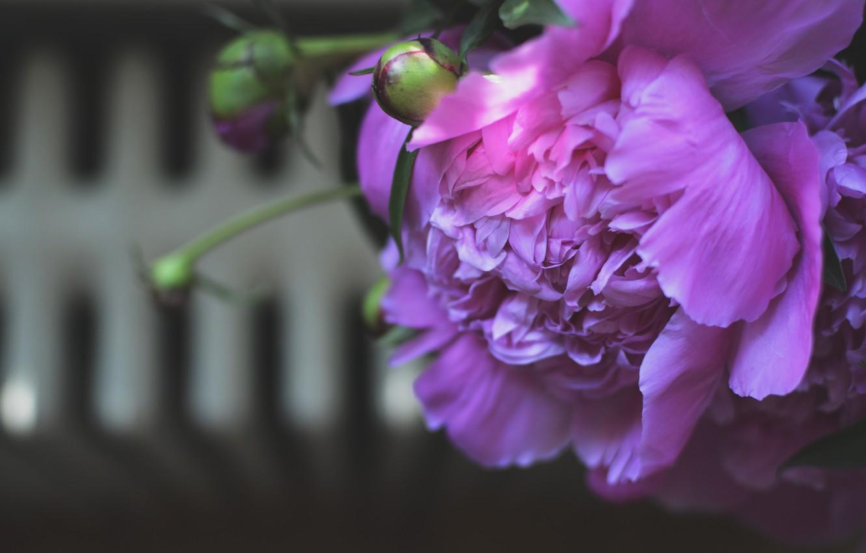 Photo wallpaper flower, petals, peony