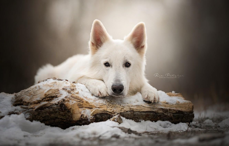 Photo wallpaper look, face, snow, dog, log, The white Swiss shepherd dog