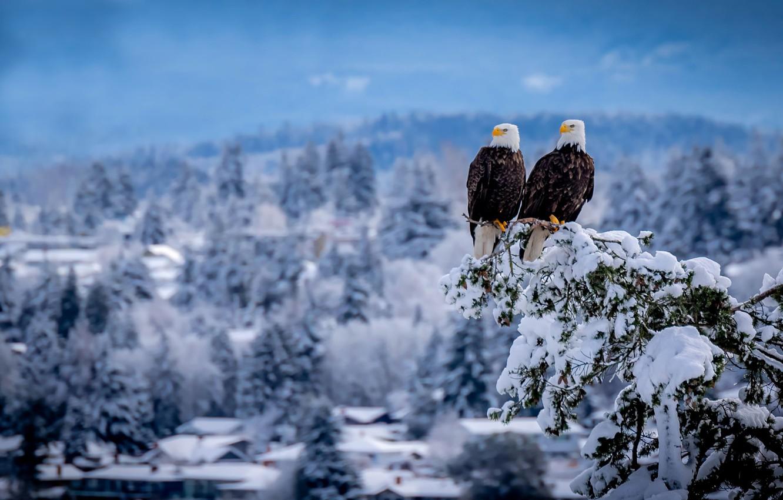 Photo wallpaper winter, snow, birds, branch, pair, Duo, Bald eagle