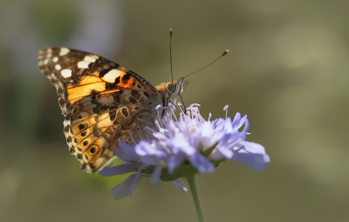 Photo wallpaper flower, butterfly, the painted lady, vanessa cardui
