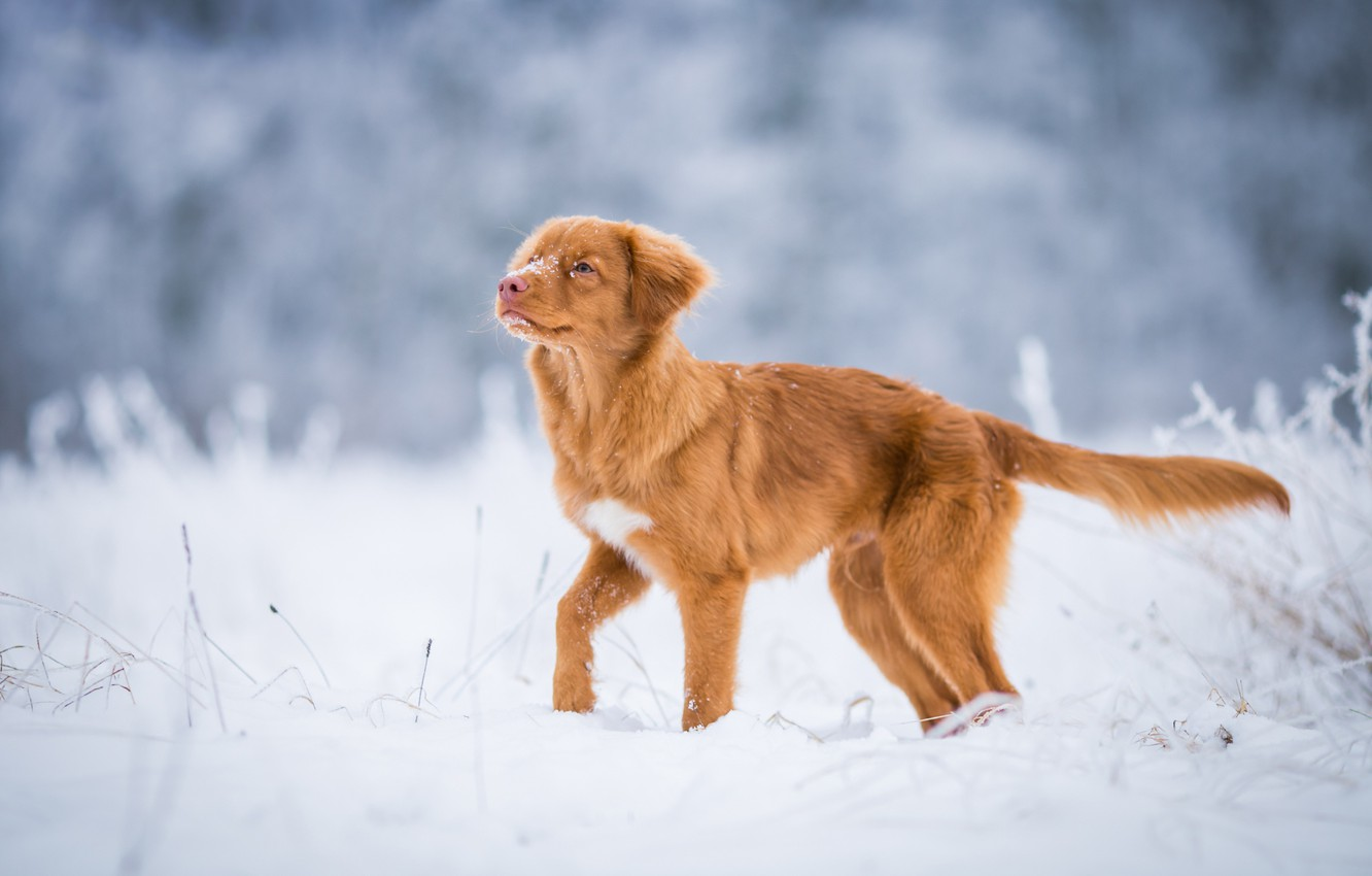 Photo wallpaper winter, frost, field, look, snow, nature, pose, dog, red, muzzle, tail, cute, puppy, gold, walk, …