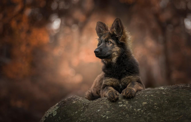 Photo wallpaper background, stone, portrait, dog, puppy, bokeh, shepherd
