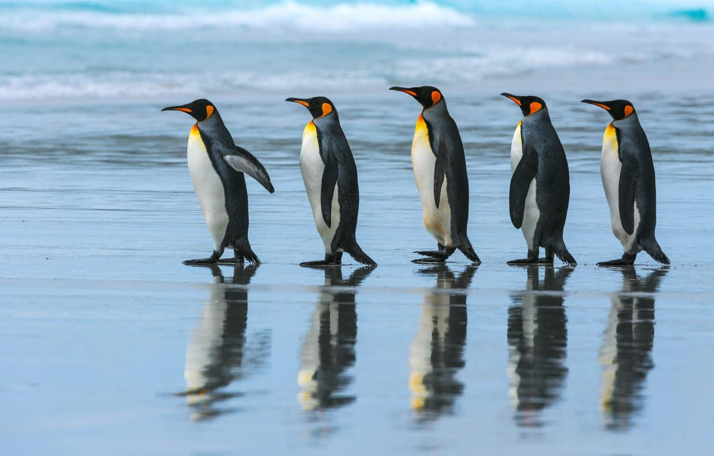 Photo wallpaper sea, beach, the ocean, pack, penguins, walk, Emperor penguin