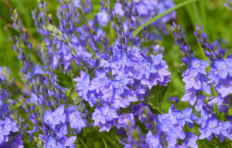 Photo wallpaper Spring, Flowers, Spring, Blue flowers, Veronica austriaca