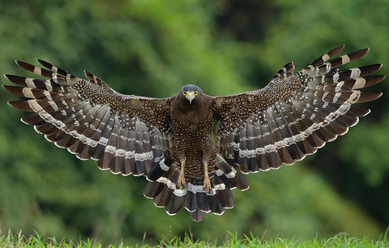 Photo wallpaper bird, wings, hawk, Great crested snake eagle