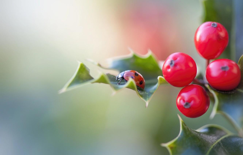 Photo wallpaper leaves, macro, nature, berries, ladybug, Holly, Jacky Parker