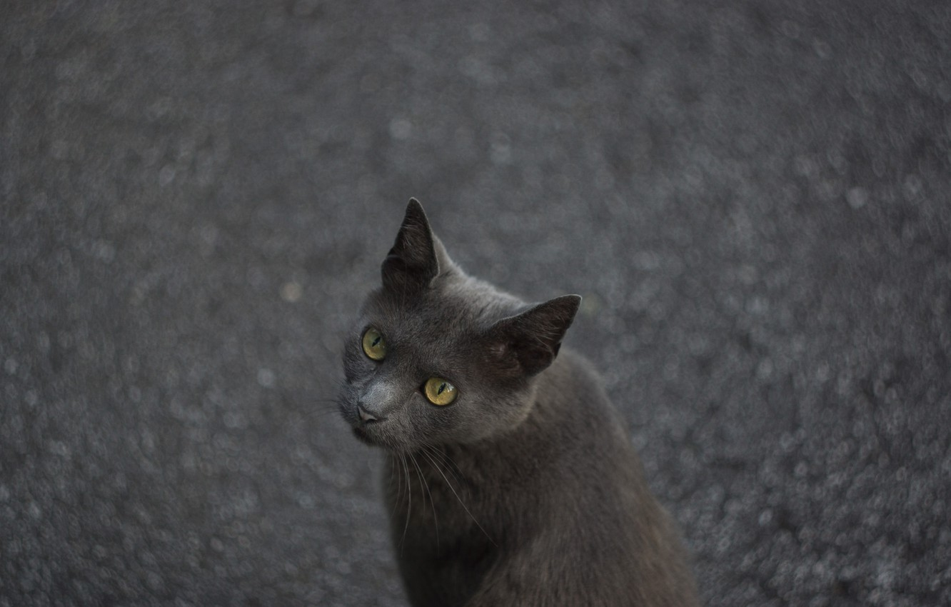 Photo wallpaper cat, cat, asphalt, grey