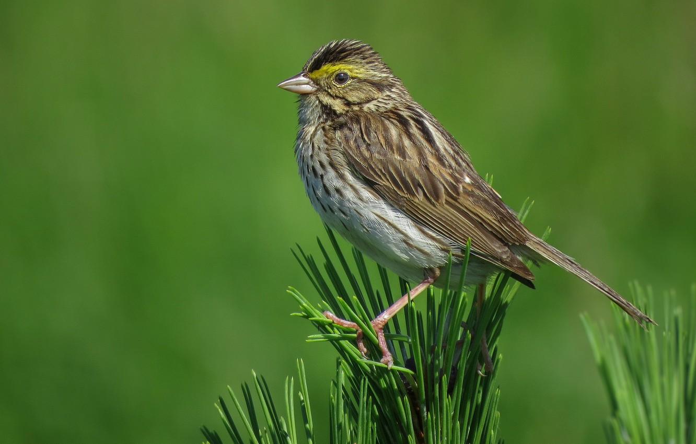 Photo wallpaper bird, beak, tail, this Savannah Sparrow