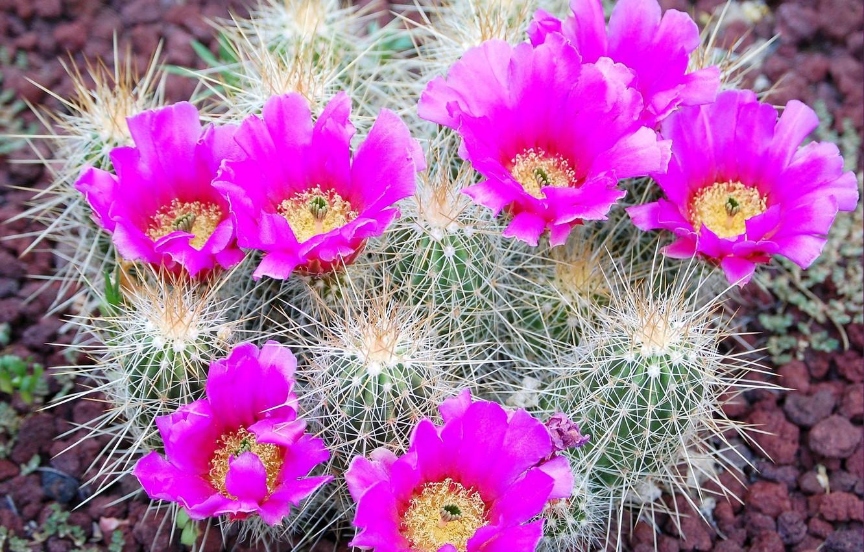 Photo wallpaper needles, petals, cactus, barb, stamens, flowering, pebbles, bright colors