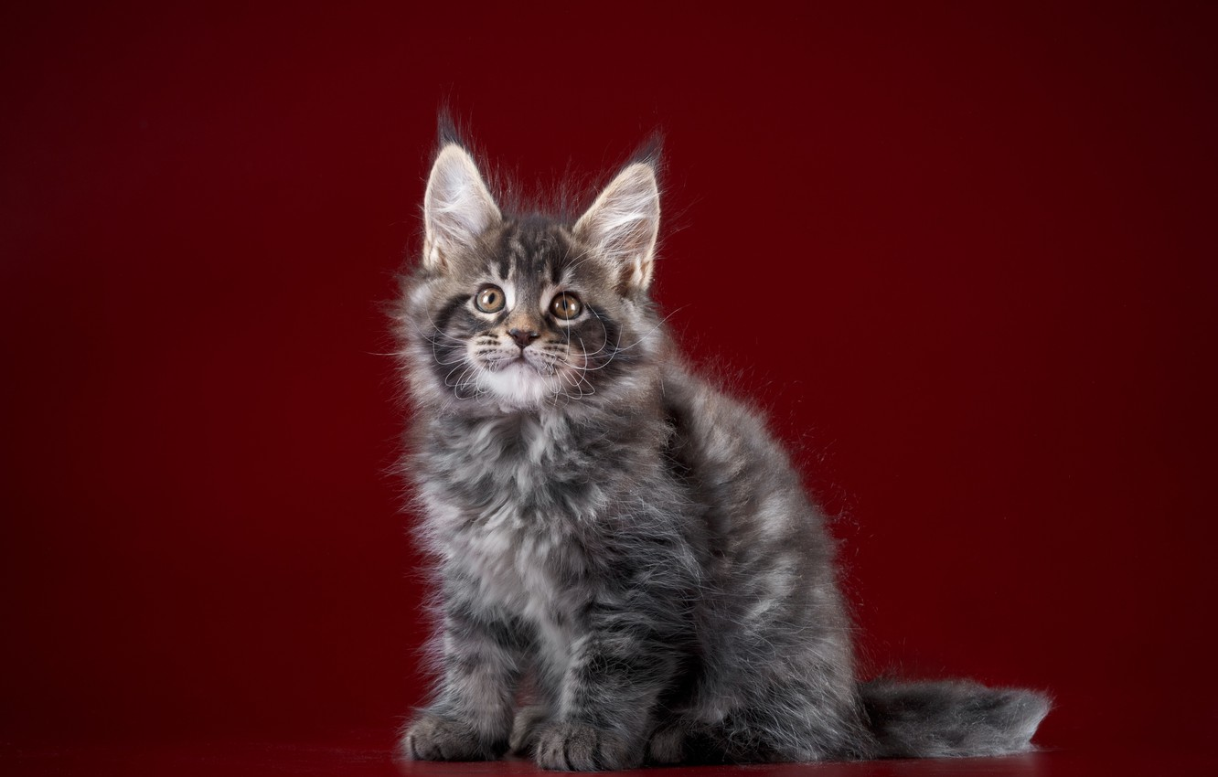 Photo wallpaper animals, background, Cat, Color, Maine Coon