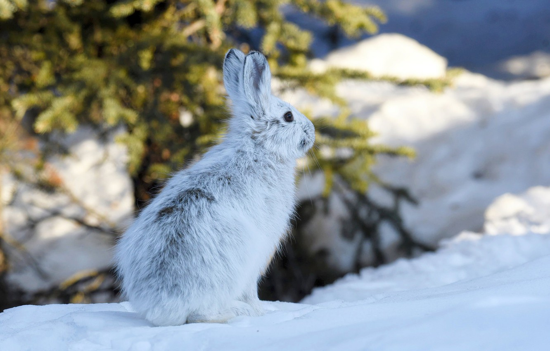 Photo wallpaper winter, snow, hare, Alaska