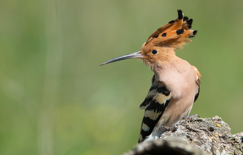 Photo wallpaper background, Bird, hoopoe