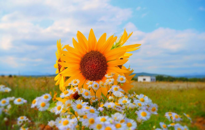Photo wallpaper Nature, Field, Summer, Flowers, Sunflowers, Nature, Flowers, Summer, Field, Sunflowers