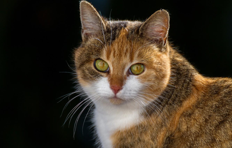 Photo wallpaper cat, look, background, portrait, muzzle