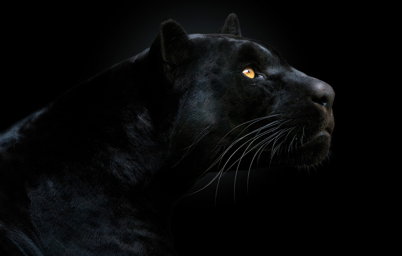 Photo wallpaper look, face, Panther, black background, the dark background