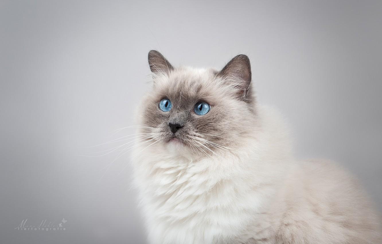 Photo wallpaper cat, look, background, portrait, muzzle, blue eyes, photoshoot, Ragdoll